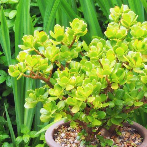 Crassula ovata Jade tree (3)