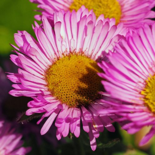 erigeron-glaucus-'sea-breeze'-(2)