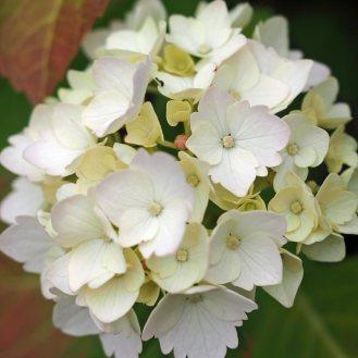 hydrangea-(2)