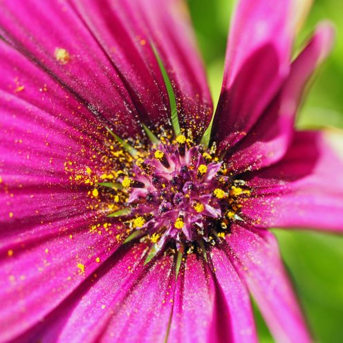 Osteospermum-'Tresco-Purple'-(2)