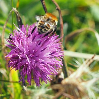 Bee on Centaurea cyanus