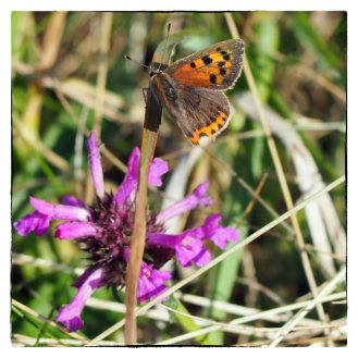 Male Small Copper