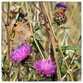 Meadow Brown feeding on Knapweed