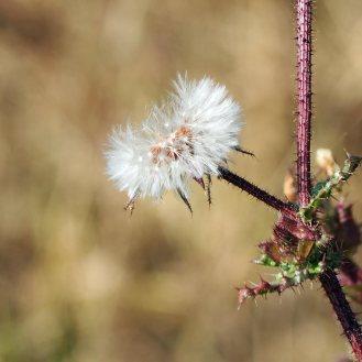 Thistle seed-head