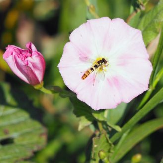 Field bindweed and hoverfly