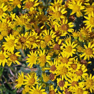 Ragwort and friend (bottom left)