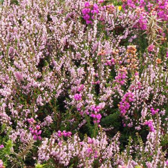 Common / Ling / Calluna vulgaris
