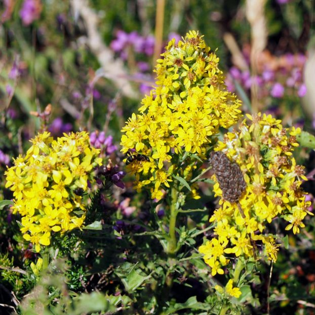 Golden Rod (Solidago vigaurea)