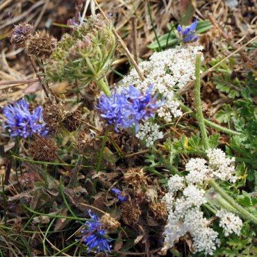 Devil's Bit Scabious (Succisa pratensis) and Wild Carrot (Daucus carota)