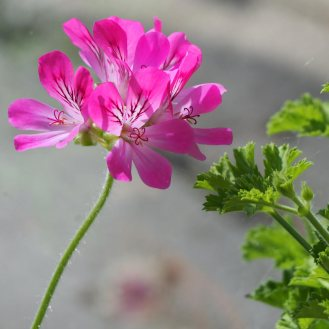 Pink Capitatum