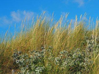 Sea Holly and Marram Grass