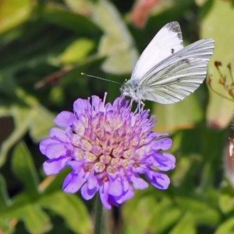 Scabiosa 'Butterfly Blue' and Cabbage White