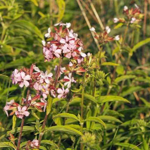 Silene gallica (Small-flowered Catchfly)