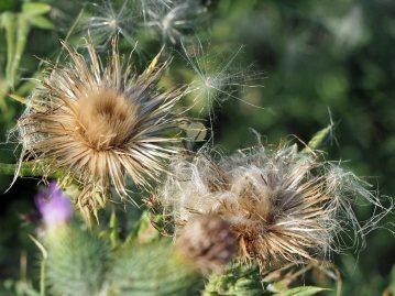 Seed-heads