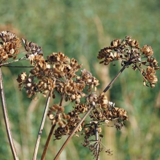 umbellifer seed-heads