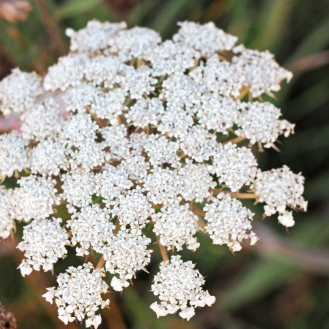 Wild Carrot (Daucus carota) or Queen Anne's Lace