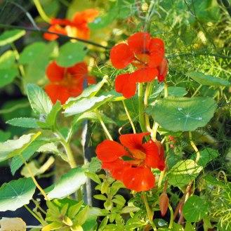Nasturtiums and herbs