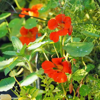 Nasturtiums and herbs