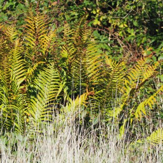 Bracken and bleached grasses