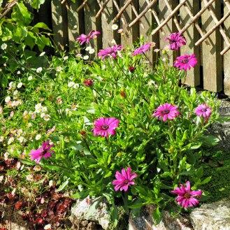 Osteospermum 'Purple Tresco'