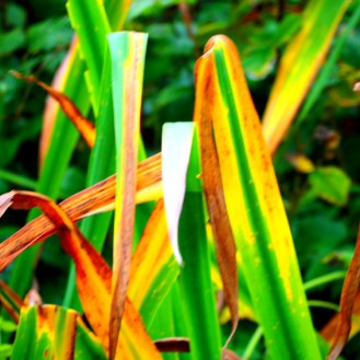 Dying leaves of Iris