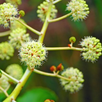 Fatsia Japonica flower