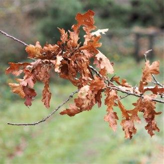 Sessile oak leaves