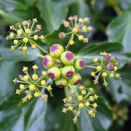 Ivy flower and berries