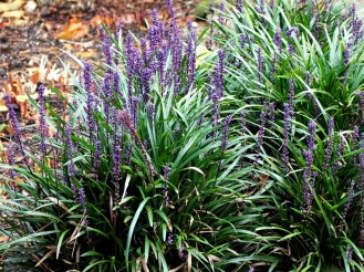 Liriope muscari (big blue lilyturf)