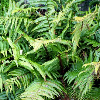 Dryopteris filix-mas, the male fern