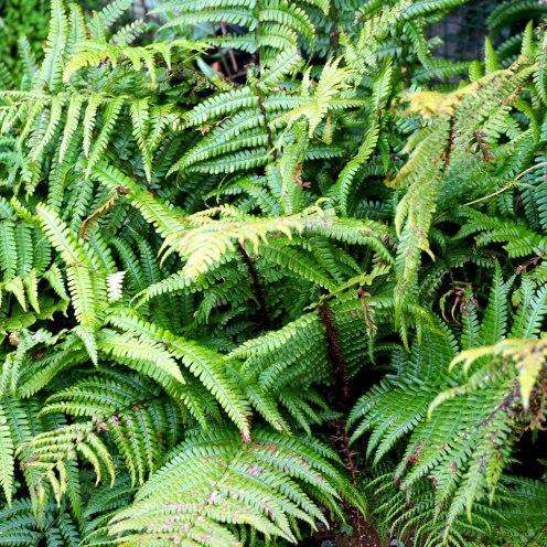 Dryopteris filix-mas, the male fern