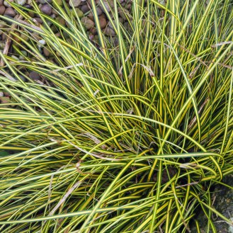 A golden Carex grass