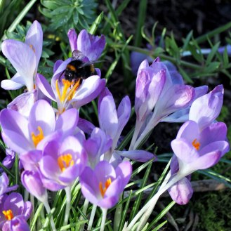 Crocus and bee