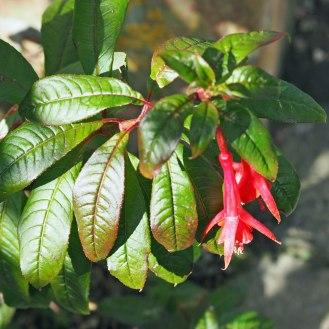 Fuchsia 'Fanfare'