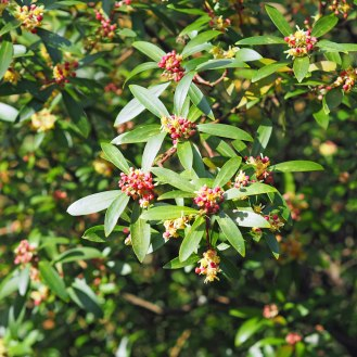 Honey Spurge / Euphorbia mellifera