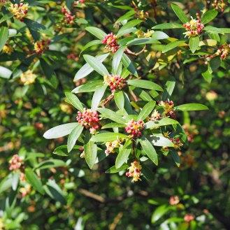 Honey Spurge / Euphorbia mellifera