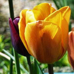 Tulipa 'Apricot Foxx'