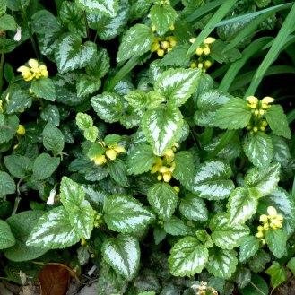 Dead Nettle / Yellow Lamium