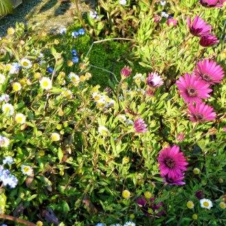 Erigeron karvinskianus and Osteospermum