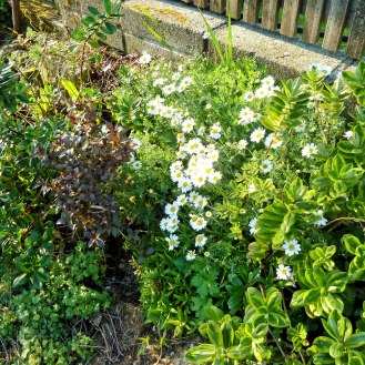 Anthemis cupaniana, Hebes and Weigela