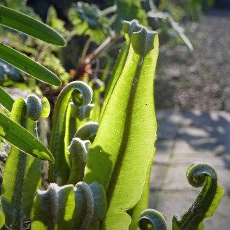 Hart's-Tongue (Asplenium scolopendrium) new leaves