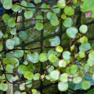 Maidenhair Vine