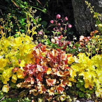 Heuchera 'Marmalade' and 'Lime Marmalade' and Geum 'Bell Bank'