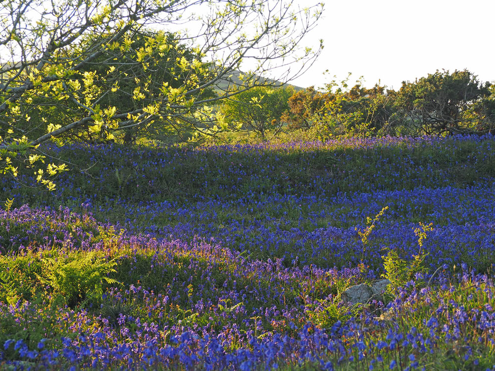 Bluebell dell