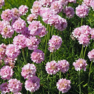 Sea Thrift (Pinks)