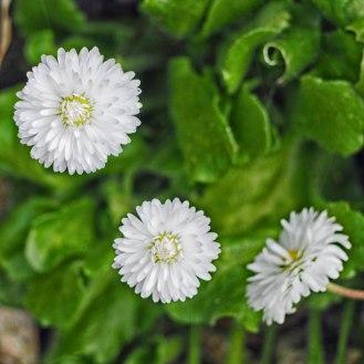 Double daisies