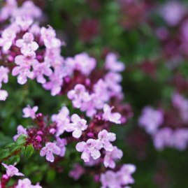 Caraway thyme