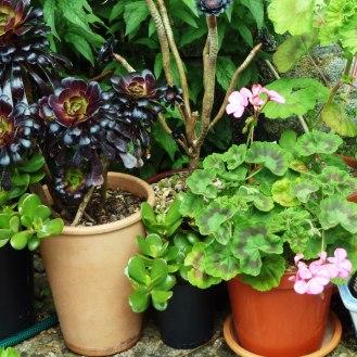 Aeonium and Pelargonium