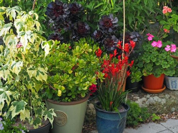 Jade Plant and Kangaroo Paw
