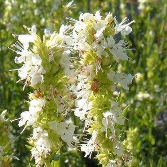 hyssopus-officinalis-albus